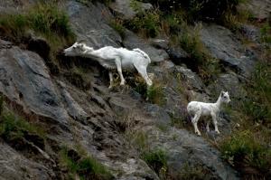 Dall Sheep 2