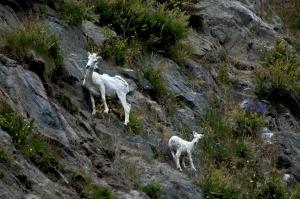 Dall Sheep 3