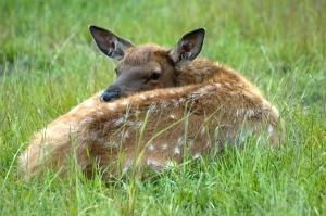 Rocky mountain elk fawn