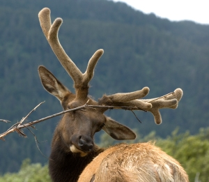 A younger Rocky Mountain elk bull itching his pesky antlers!