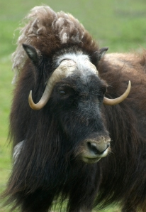 I think this musk ox resembles Marie Antoinette!