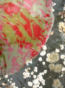 Christmas tree anemone