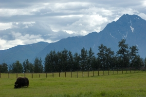 The Musk Ox Farm reminded me of New Zealand.