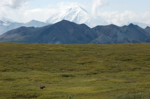 A sow moose under Denali