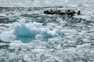 Harbor seals on ice
