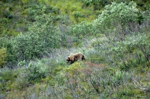 Mama bear (my favorite Denali photo!)