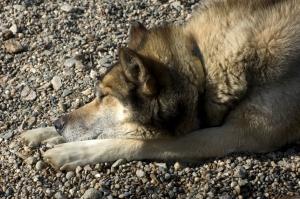 Snoozing Alaska husky